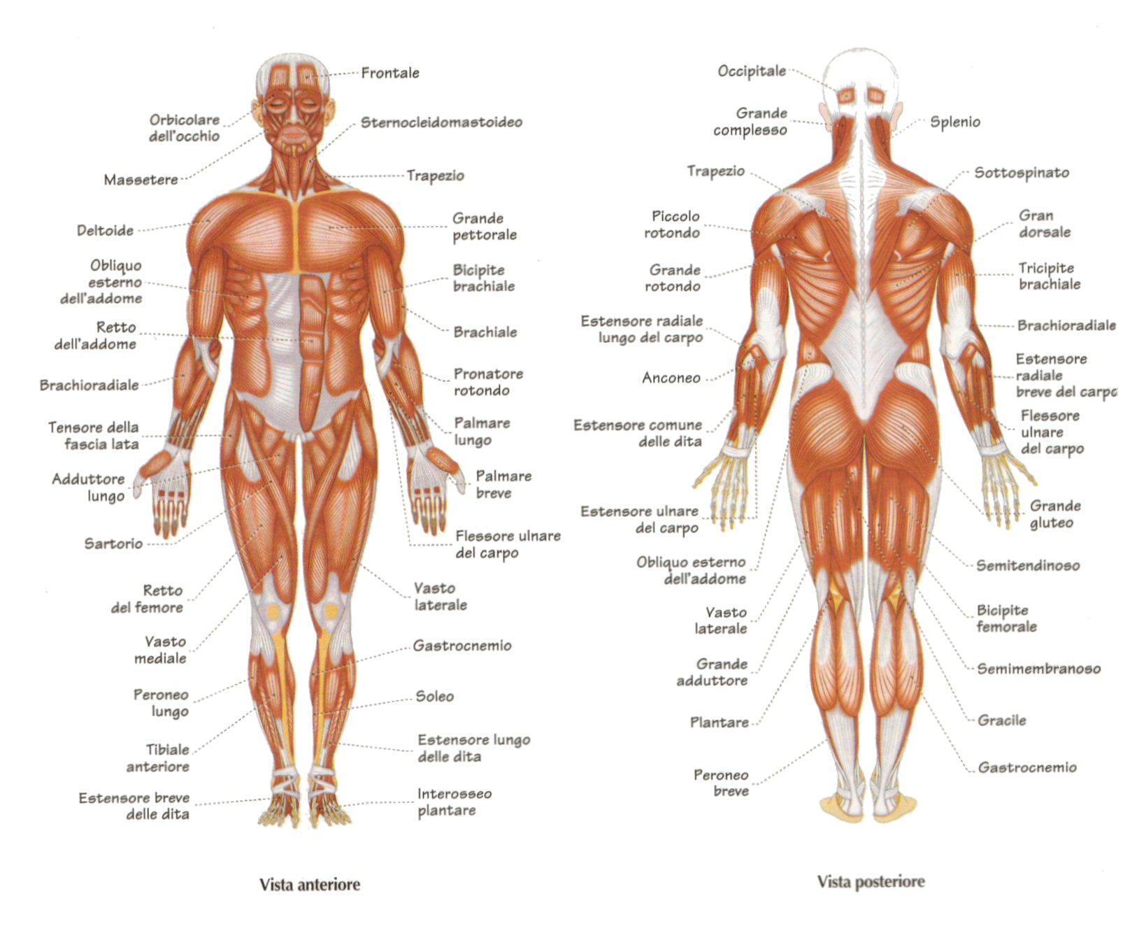 nazwy mięśni po włosku