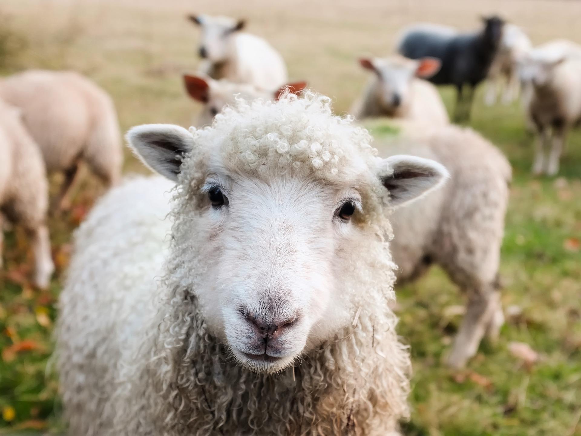 owce mają kosić trawę w rzymie