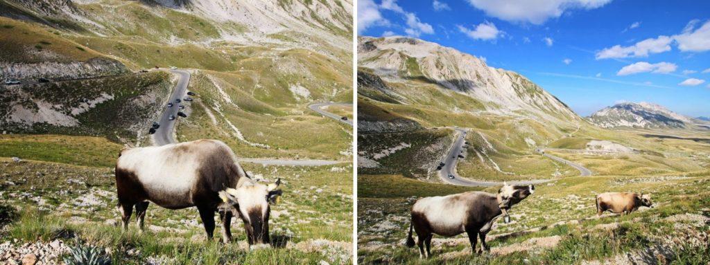 Krowy w Parku Narodowym Gran Sasso Włochy
