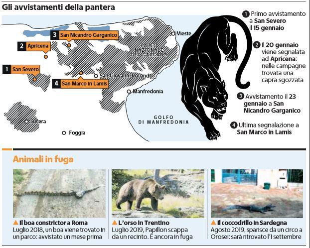 czarna pantera krąży po Apulii we Włoszech